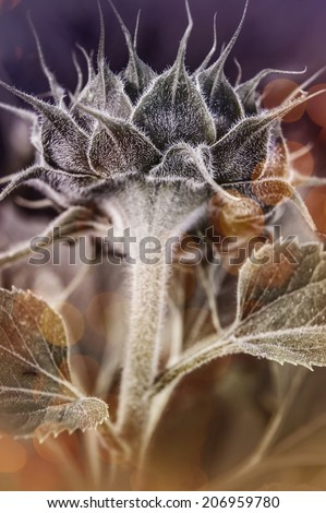 Young flower sunflower. - stock photo