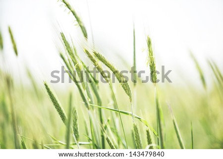Young flowering spikes of barley close-up in field - stock photo