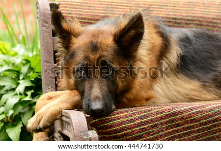Young Fluffy Dog Breed German Shepherd lying in the garden outdoor. Pet outside