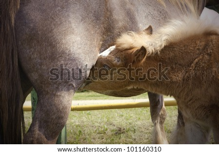 Young foal during an intimate feeding with its mother - stock photo