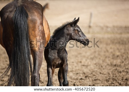 Young foal with its mother in the meadow at spring time