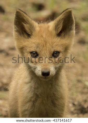 Young fox.