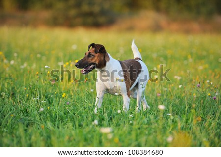 young Fox Terrier walking in the meadow - stock photo