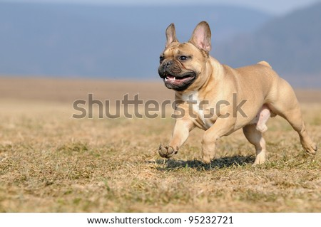 young French Bulldog puppie 11 months  running in the field