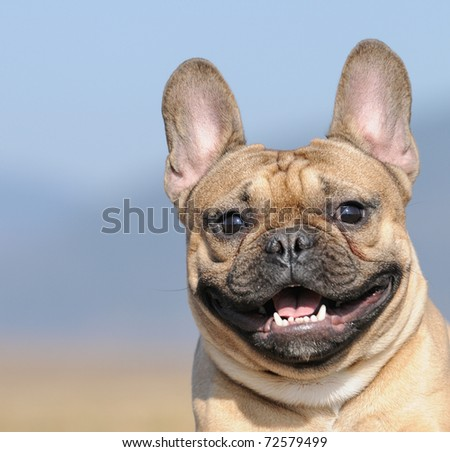 young French Bulldog puppy 11 months  in the field in march - stock photo
