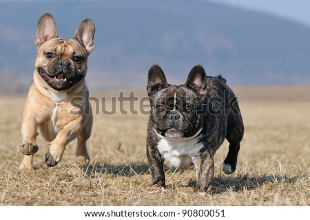 young French Bulldog puppy 11 months playing and fighting