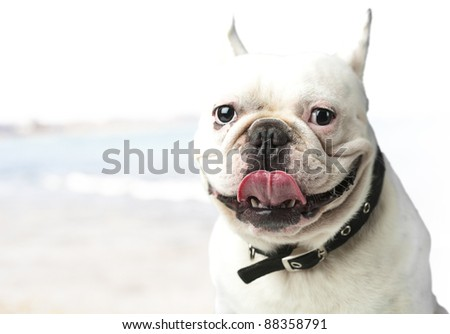 young french bulldog showing tongue against a beach background - stock photo