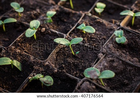 Young fresh seedling stands in plastic pots. cucumber plantation. cultivation of cucumbers in greenhouse. Cucumber seedlings sprout Selective focus and shallow Depth of field. - stock photo