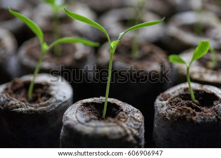 Young fresh seedling stands in plastic pots. Cultivation of plants in greenhouse.Selective focus and shallow Depth of field.