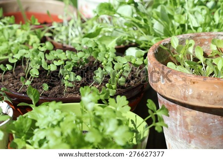 Young fresh seedlings in pots
