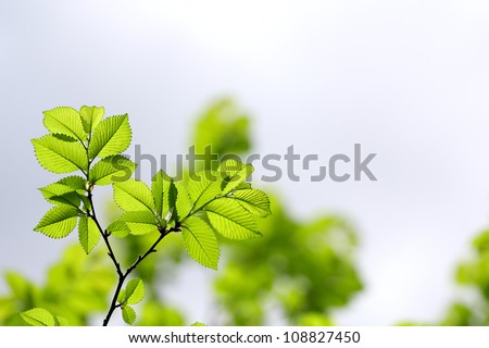 young fresh spring beech tree leaves - stock photo