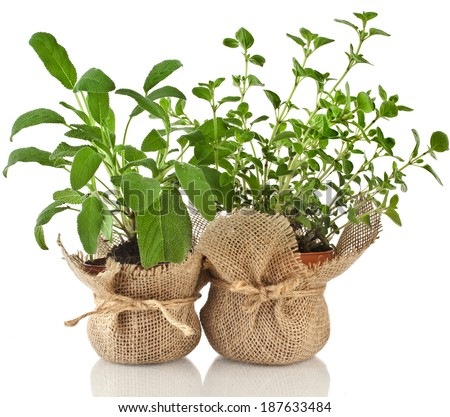 Young fresh vegetable herbs sprout seedling in brown terracotta pot isolated on white background - stock photo