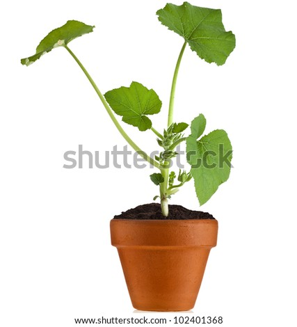 Young fresh vegetable sprout seedling  in brown flowerpot  isolated on white background - stock photo