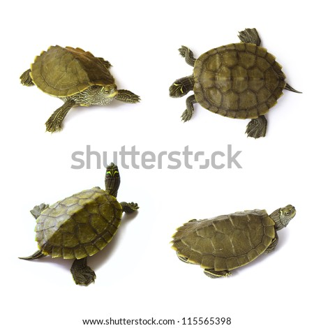 Young freshwater turtles set on white background - stock photo