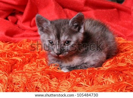 Young funny grey cat - stock photo