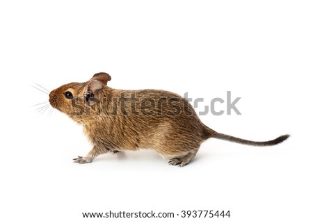 Young funny pet degu mouse isolated on a white background - stock photo