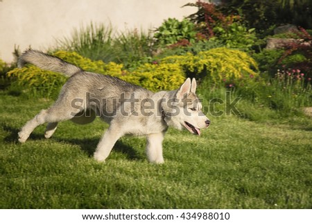 Young funny white and gray husky puppy dog play run outdoor - stock photo