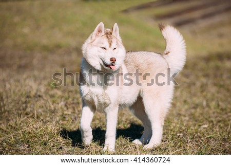Young Funny White And Red Husky Puppy Dog With Blue Eyes Play Outdoor In Autumn Park