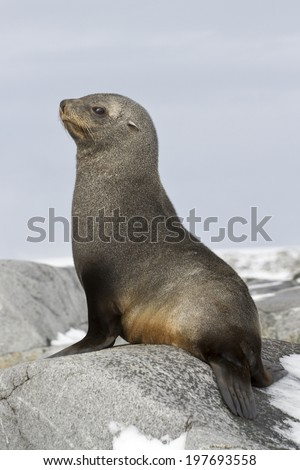 young fur seal sitting on the rocks of the Antarctic Islands - stock photo