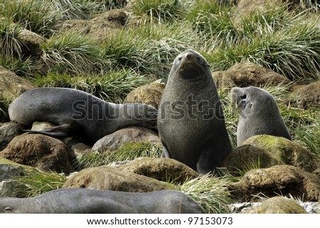 Young Fur Seals at South Georgia (Sub Antarctica) - stock photo
