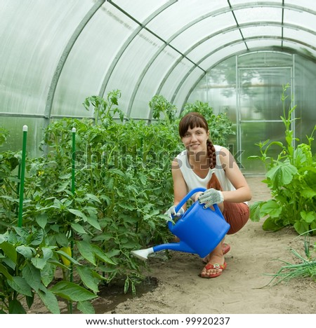 young gardener watering   tomatoes in   greenhouse