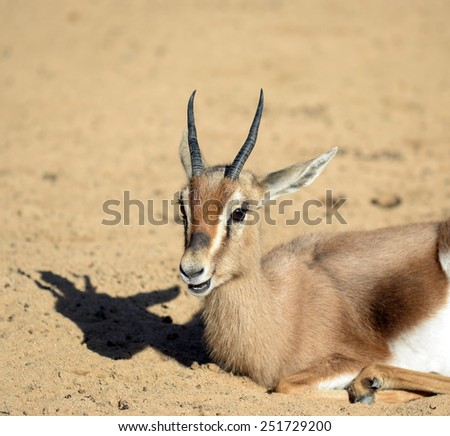 Young gazelle resting - stock photo