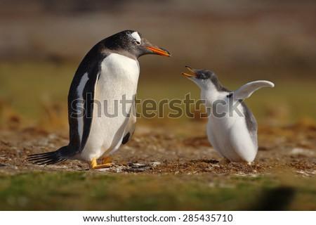 Young gentoo penguin beging food beside adult gentoo penguin, Falkland Islands - stock photo