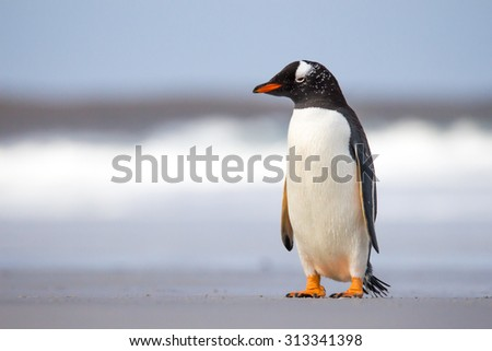 Young Gentoo Penguin on the beach - stock photo