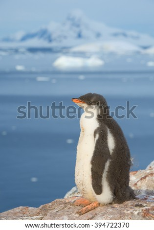 Young gentoo penguin standing on the rock, snowy mountains in background, Antarctic Peninsula - stock photo