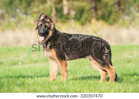 Young german shepherd dog