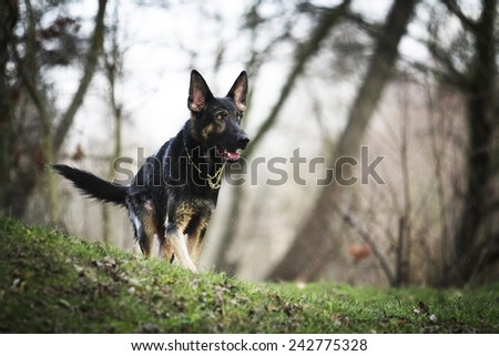 young german shepherd dog puppy in winter background - stock photo