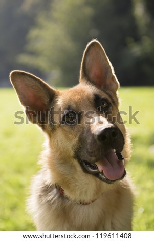 young german shepherd sitting on grass in park and looking with attention