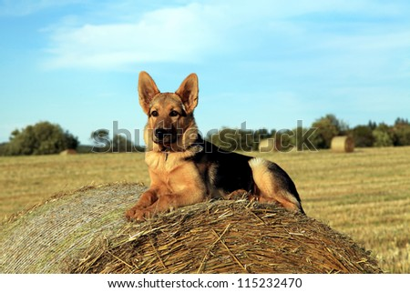 Young german shepherd watching over the farm - stock photo