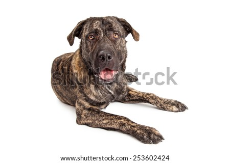 Young giant breed dog with a big head and happy expression laying and looking forward - stock photo