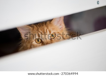 Young ginger Maine Coon