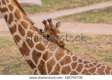 Young giraffe brushes his mother - stock photo