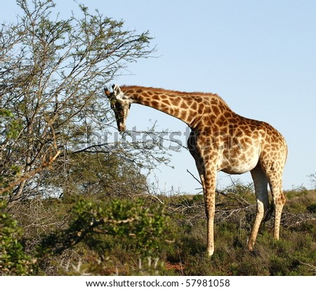 young giraffe chewing some leaves from a thorn tree - stock photo