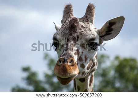 Young Giraffe close up
