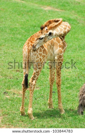 young giraffe in the open zoo