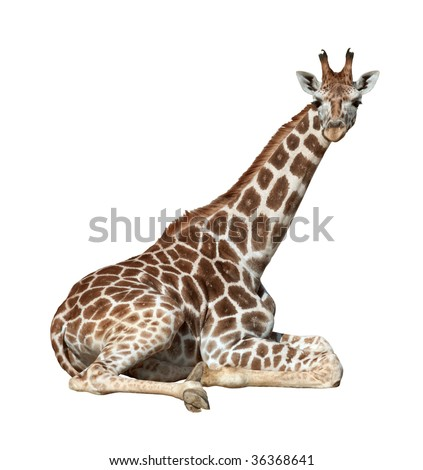 Young giraffe lie on ground looking isolated on white background