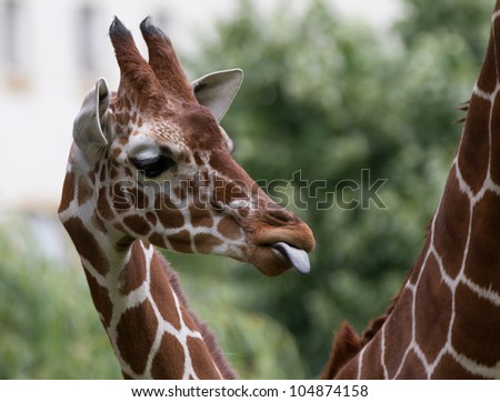 young giraffe tongue - stock photo