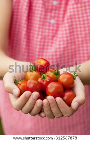 Young girl hands holding fresh cherry tomatoes from the garden.