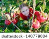 Young girl picking organic Apples into the Basket.Orchard. - stock photo
