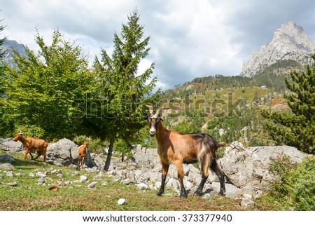 Young goat and his flock of grazing on the hillside. - stock photo