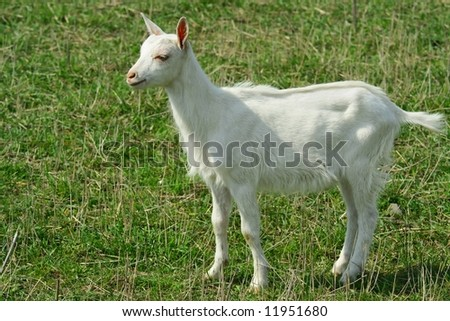 Young goat on morning grazing