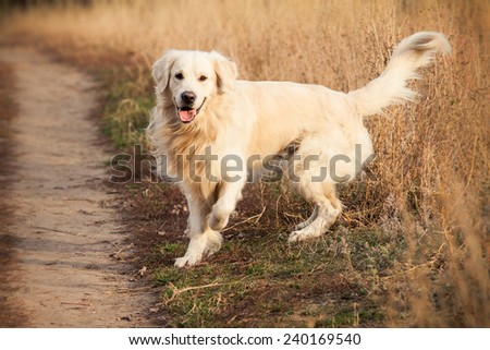 young golden retriever dog play in autumn park