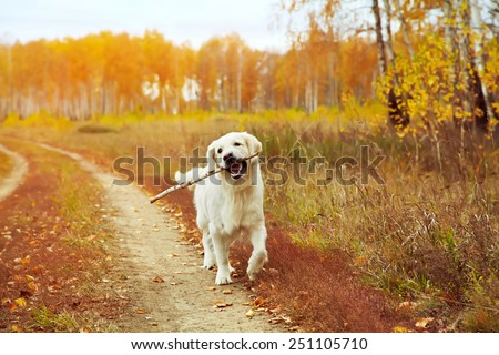 Young golden retriever for a walk in nature. Dog breed labrador outdoors. - stock photo