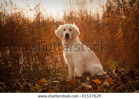 Young Golden Retriever is sitting with reed in background - stock photo