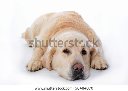 young golden retriever laying down on a white background