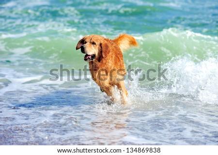 Young golden retriever running on the beach - stock photo